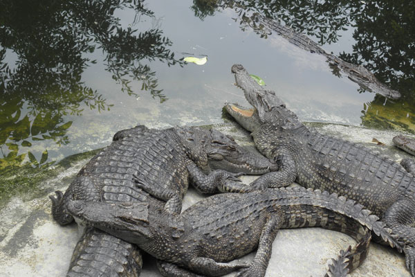 Kachikally Crocodile Pool in Bakau